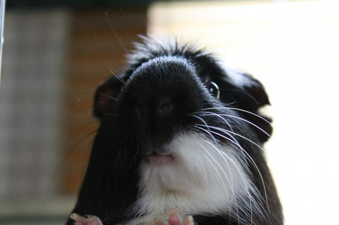 Sometimes we have cute guinea pigs and other small animals